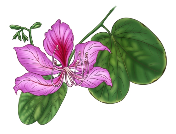 Scientific name: Bauhinia purpurea