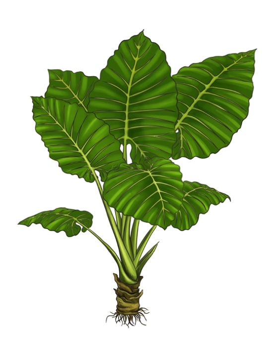 Scientific name: Alocasia macrorrhiza