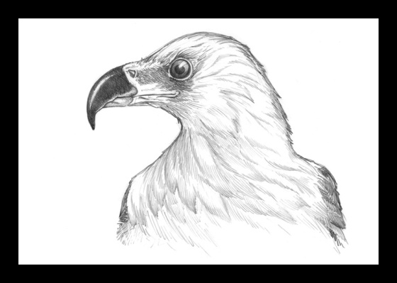 Digital Painting Illustration, Bird series - African Fish Eagle