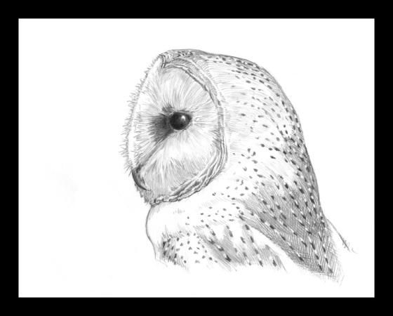 Digital Painting Illustration, Bird series - Barn Owl