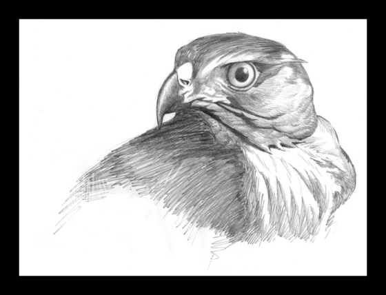Digital Painting Illustration, Bird series - Crested Goshawk