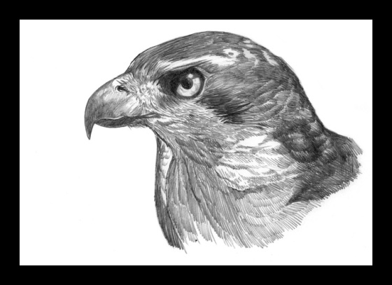 Digital Painting Illustration, Bird series - Northern Goshawk