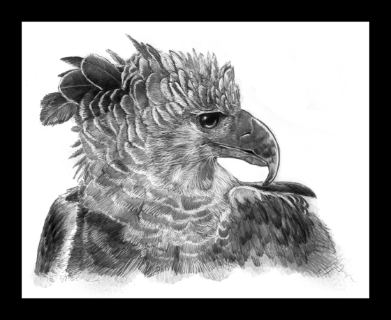 Digital Painting Illustration, Bird series - Harpy Eagle
