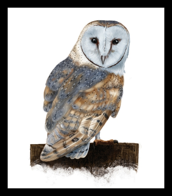 Digital Painting Illustration - Barn Owl