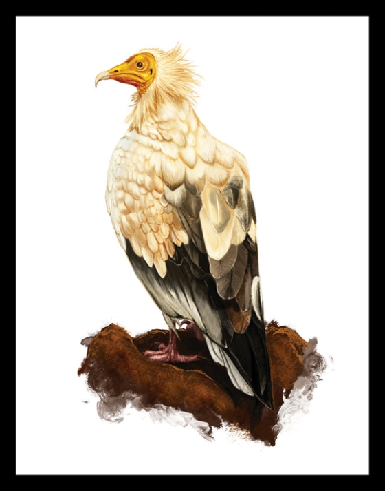 Digital Painting Illustration - Egyptian Vulture
