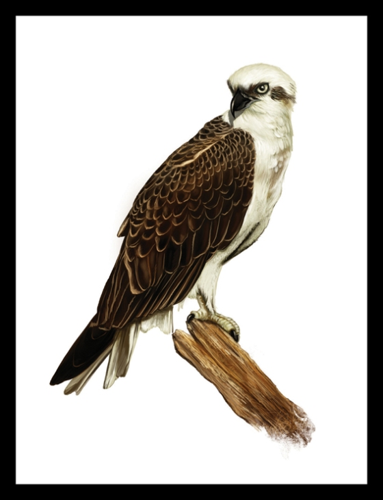 Digital Painting Illustration - Osprey