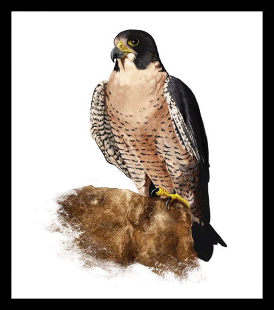 Digital Painting Illustration - Peregrine Falcon
