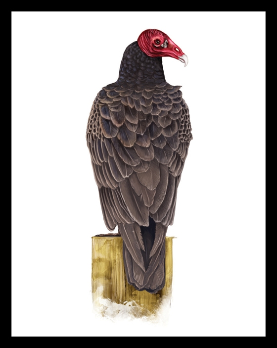 Digital Painting Illustration - Turkey Vulture