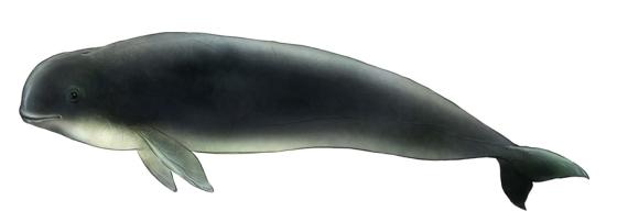 finless porpoise illustration