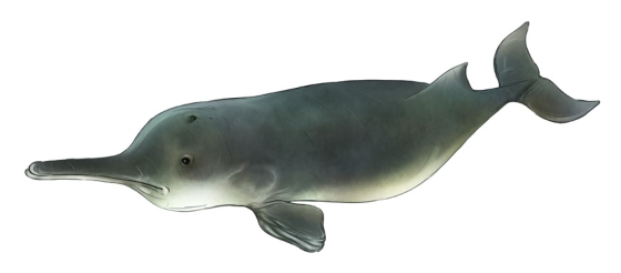 yangtze river dolphin illustration