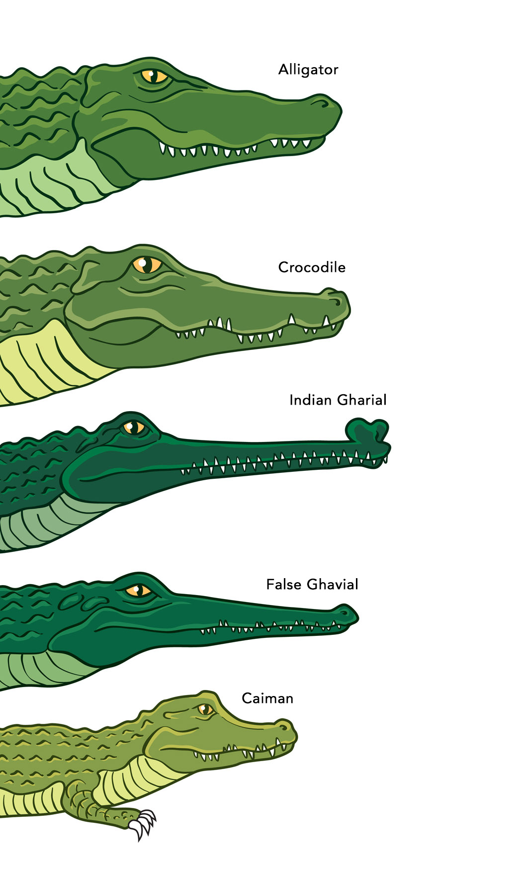 a comparison of alligators and crocodiles One of the things that may baffle you most about these two animals is the fact that alligators can be crocodiles but all crocs are not necessarily alligators so how about reading these exciting differences in more detail join us in a short journey and explore little things about the perfect comparison of crocodile vs alligator.