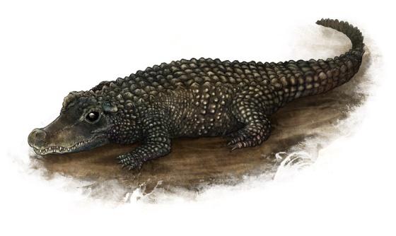 African Dwarf Croc