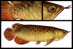 Asian-Arowana(low-res)