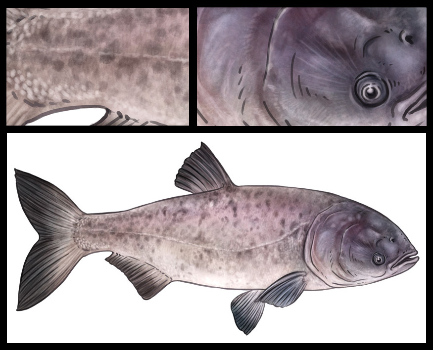 Fishes of River Safari Part 1. | Keeve Neo - The Illustrator