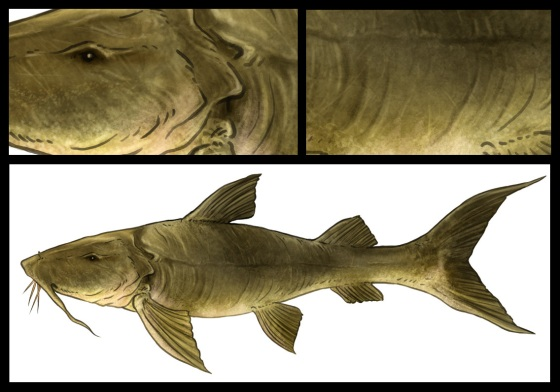 Goonch-Catfish