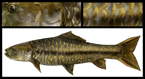 Indian Golden Mahseer