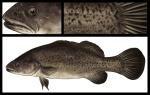 Trout-Cod
