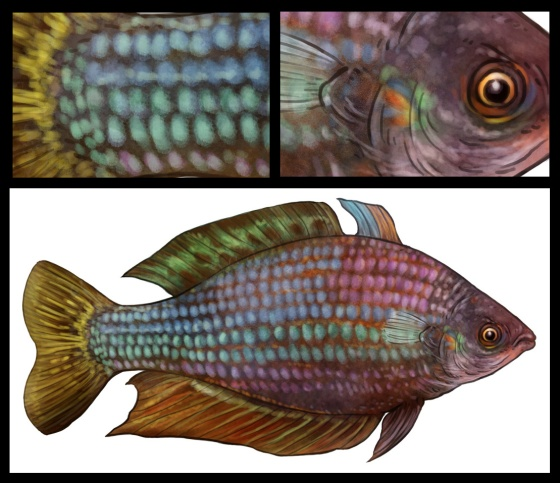 Eastern Rainbowfish