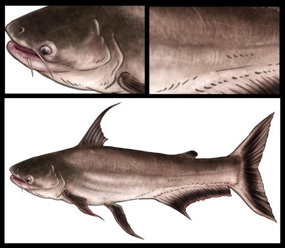 Highfin Catfish