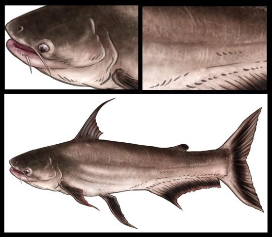 Highfin Catfish