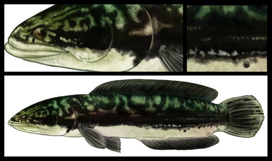 Striped Snakehead